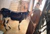 Grâce au soutien de CSI, Aziza, mère de cinq enfants, a pu acheter un veau pour l'élevage. (csi)