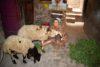 Grâce à un soutien financier, Madiha (Haute-Égypte) peut exploiter un élevage de moutons. (csi)